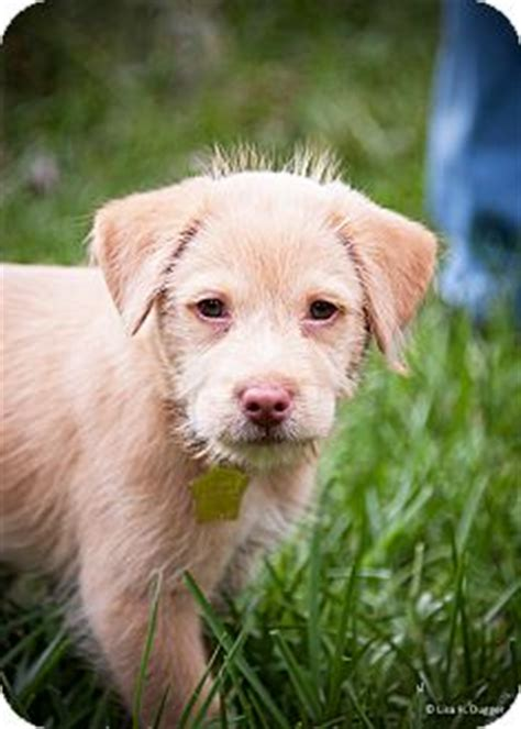 golden retriever and terrier mix aine adopted puppy kingwood tx golden retriever terrier unknown type small mix