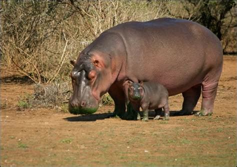 what color are hippos hippo sweat the next big thing in sunscreen technology
