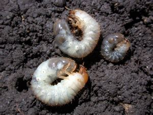 white grubs pests corn integrated pest management