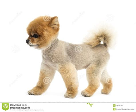 where can i buy a pomeranian pomeranian clipart clipart suggest