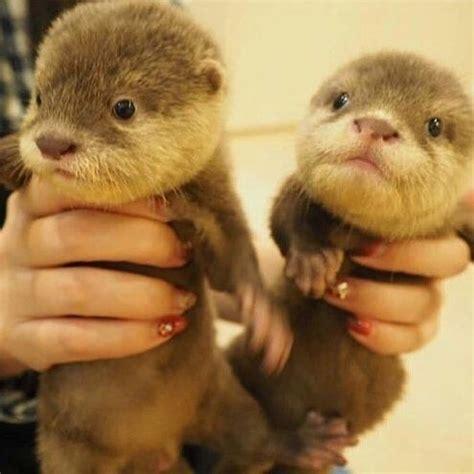 otter animals  sale atlanta ga  petzlover