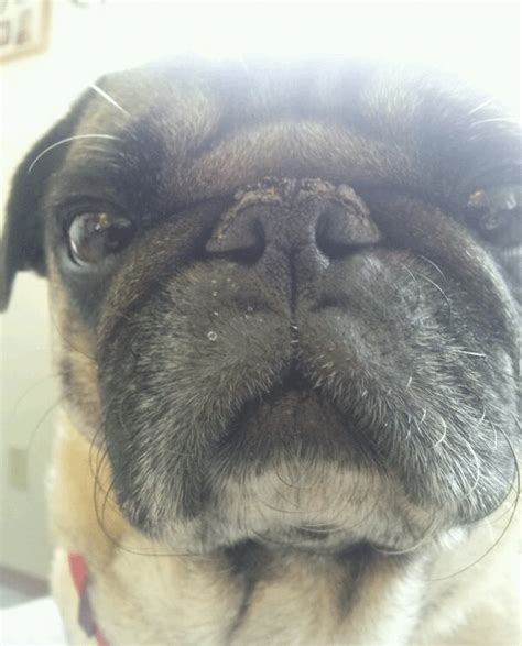pug nose dogs brutus knows best mounds on pug nose solved company