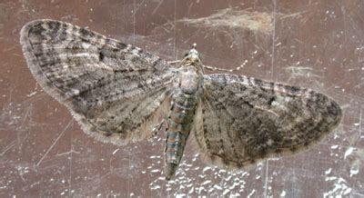 grey pug moth hants moths 70 190 grey pug eupithecia subfuscata