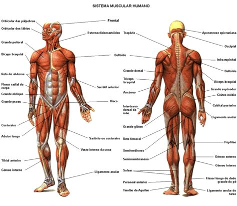 muscular system diagram diagram of the muscles system the muscular system micro