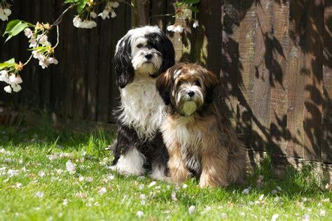 tibetan terrier puppies for sale pedigree tibetan terrier puppies for sale newport pagnell buckinghamshire pets4homes