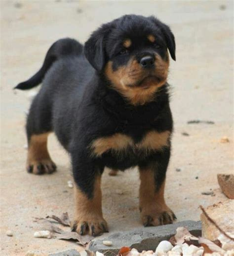 rottweiler with tails pin by michele on rottweilers them