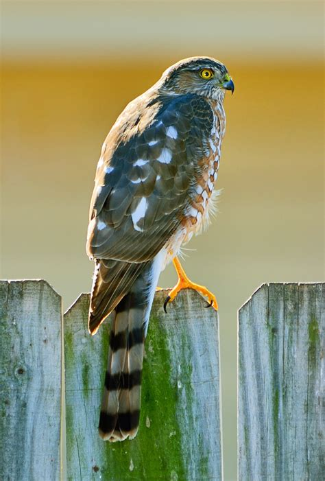 sharp shinned hawks backyard birds beware tallahassee