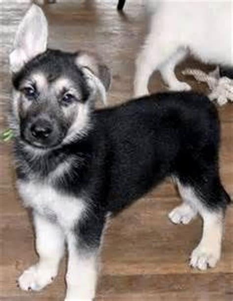 black and silver german shepherd puppies ayers german shepherd dogs breeds picture