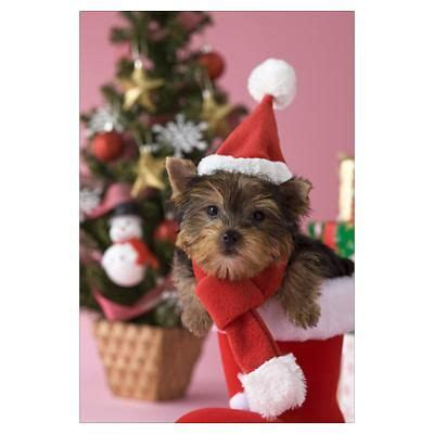 christmas yorkie wallpaper 254 best images about christmas yorkies on pinterest