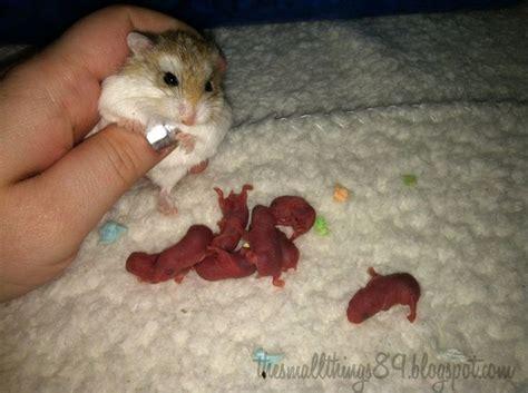 best 25 dwarf hamsters ideas on pinterest hamsters
