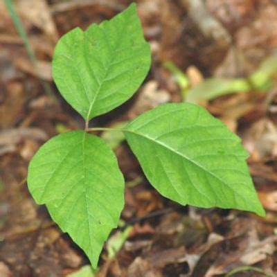 what does poison ivy leaf look like poison ivy photos pictures of plants for identification