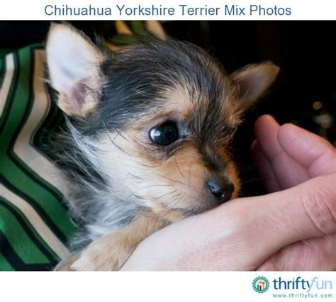 mix yorkie and chihuahua pin yorkie chihuahua on