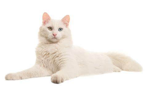 cat with different colored let s talk cats with different colored or