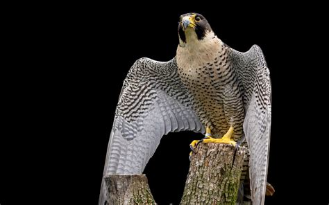 peregrine falcon hd wallpaper