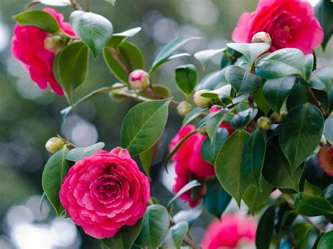 Homes Interiors by How To Grow Camellias Saga
