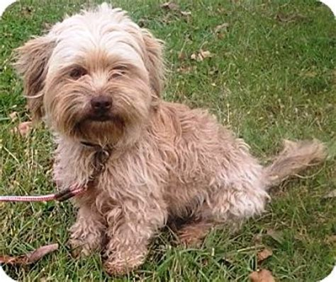 havanese rescue illinois pet not found