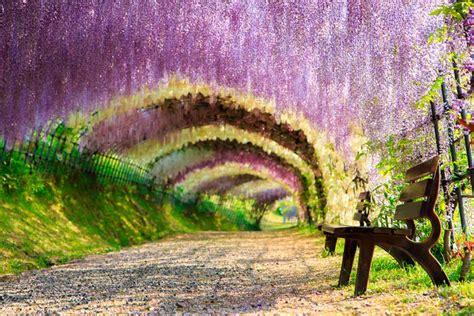 Wisteria Flower Tunnel by 13 Encantadores T 250 Neles De 193 Rboles Por Los Que Tienes Que