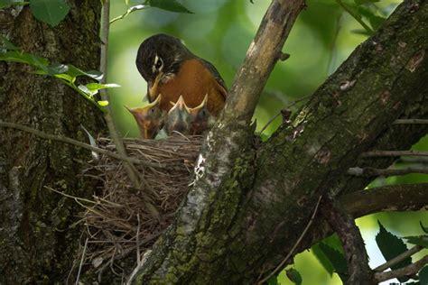 julie craves explains nesting habits of american robin