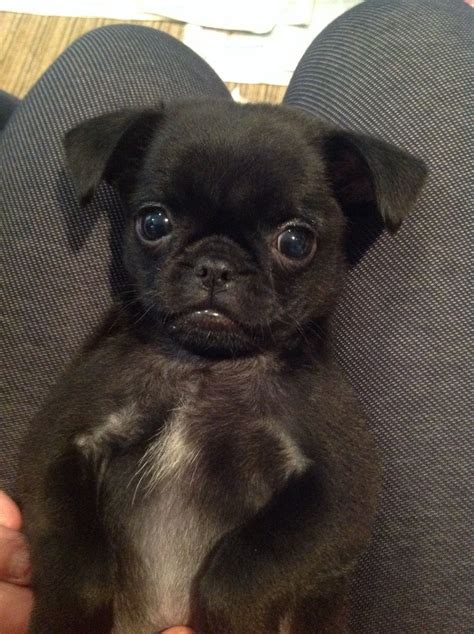 chihuahua x pug puppies chihuahua x pug puppy boys for sale spalding lincolnshire pets4homes