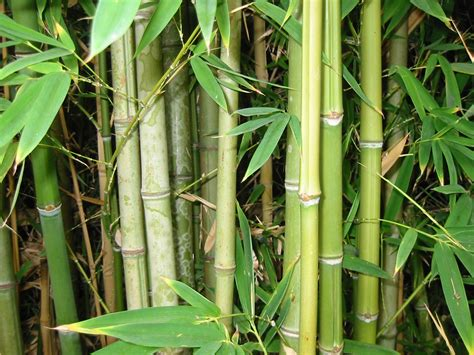Bamboo Herbal bamboo can treat wastewater