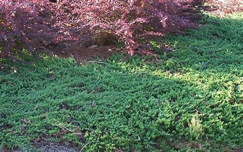rug juniper blue rug juniper picture gardenality