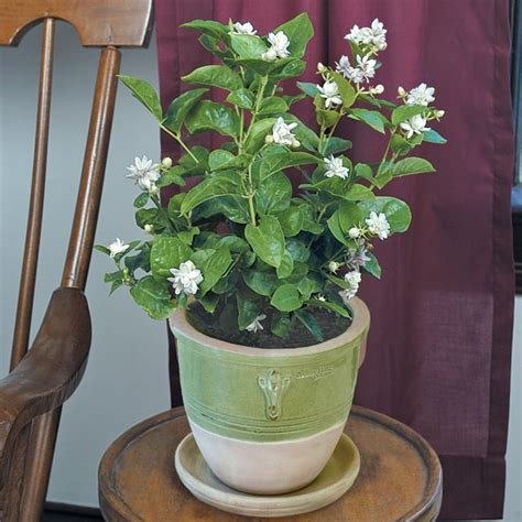 jasmine flore plena jasminum sambac tropical indoor