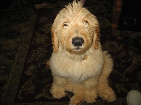 goldendoodle puppy cost how much do goldendoodles cost howmuchisit org