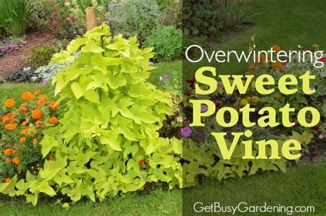 Container Gardening Potatoes - overwintering sweet potato vine cuttings