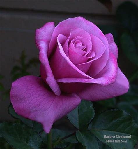 barbra streisand the rose barbra streisand rose flowers in my garden pinterest