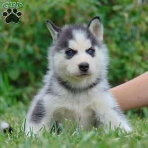 husky puppies for sale pa siberian husky puppies for sale in pa greenfield puppies holidays oo
