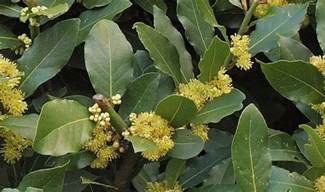Bay laurel benefits side effects and uses
