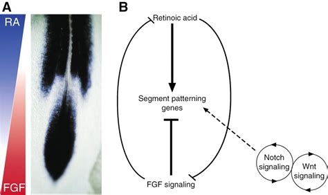 pattern formation chick coupling segmentation to axis formation development