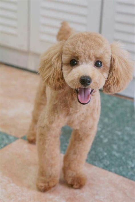 french poodle haircut pictures some poodle positivity to brighten your day positively