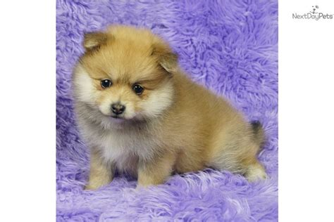 pomeranian for sale albany ny pomeranian puppies for sale in ny breeds picture