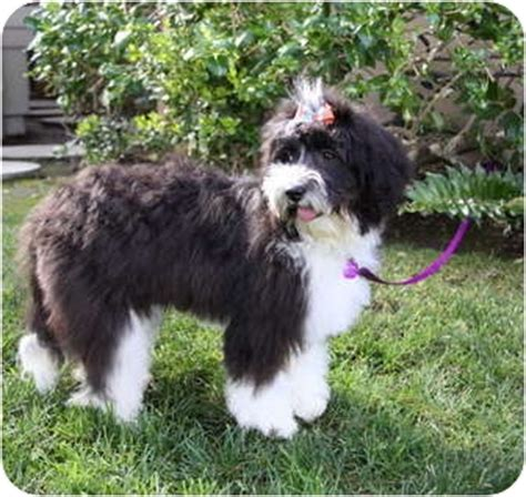 havanese water adopted puppy newport ca portuguese water havanese mix