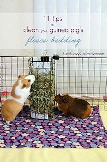 7 Tips On Caring For Pigs by 45 Best Images About Guinea Pig On Diy Swing