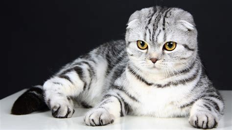 wallpaper scottish fold cat kitten eyes gray wool cute animal pet animals