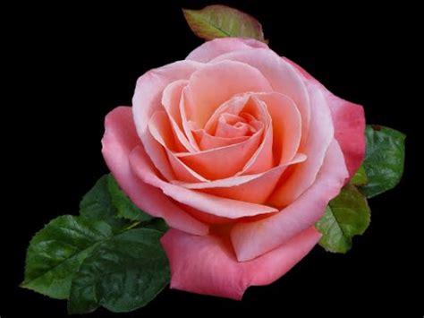 imagenes de flores bonitas flores bonitas youtube