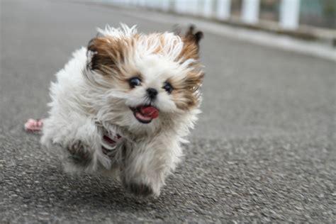 shih tzu running in my shih tzu running toward me i was r flickr