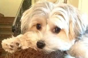 morkie haircuts pictures morkie grooming styles newhairstylesformen2014 com