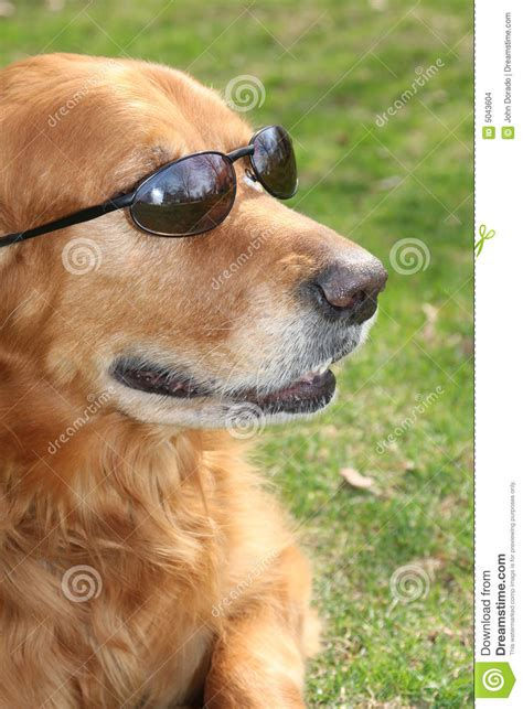 golden retriever shades golden retriever with shades stock images image 5043604