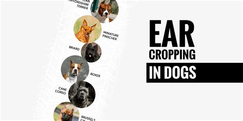 ear cropping dogs cropping tools breeds picture