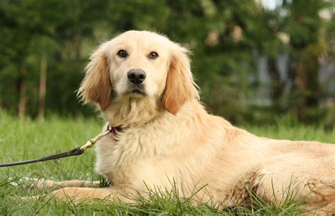trained golden retrievers for sale uk fully trained cocker golden retriever ready now staffordshire pets4homes