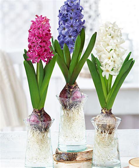 fiori bulbosi jacinthes avec verres 3 pi 232 ces acheter bakker