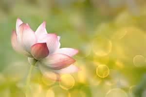 Lotus Flower Meditation Home Sacred Centers East