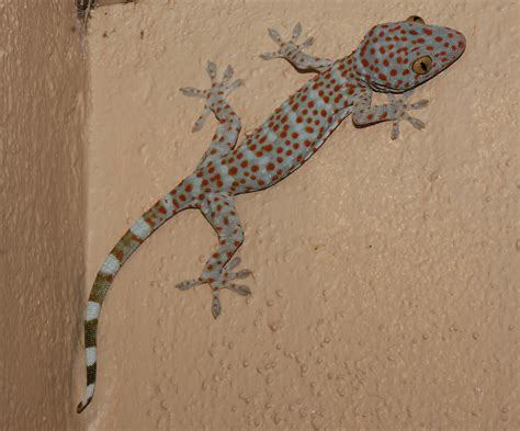 gecko change color in our restroom phuket thailand some sort of gecko