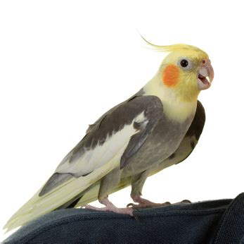 test  cockatiel intelligence proprofs quiz