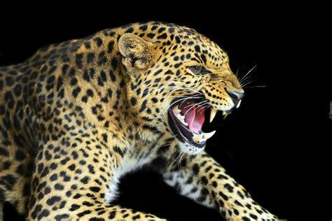 imagenes fondo de pantalla leopardo zły lart plamisty