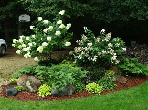 Landscape Ideas Using Evergreens Landscaping Hydrangeas With Evergreens Limelight