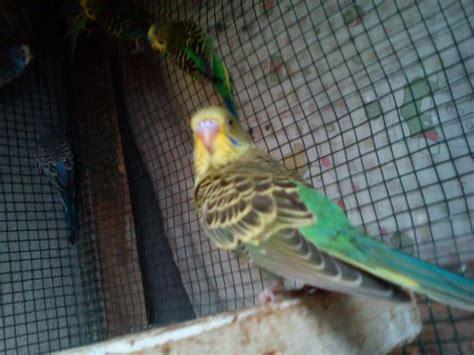 Tempat Makanan Burung Parkit budidaya burung parkit melopsittacus undulatus suhardi